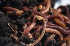 African Nightcrawler Worms