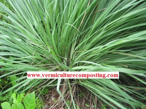 Organic Lemongrass in Backyard Garden