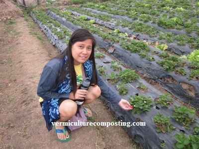 La Trinidad Benguet Strawberries