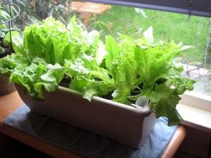 lettuce-indoors